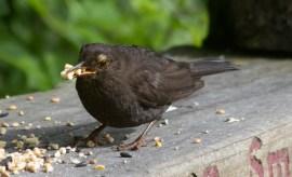 IMG_8792 Female Blackbird collecting suet pellets