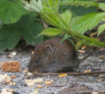 IMG_8846 Field vole at feeders