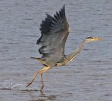 IMG_9042 Heron on Long Pond - Copy - Copy