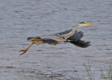 IMG_9043 Heron on Long Pond - Copy - Copy