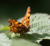 IMG_9125 Comma butterfly - Copy