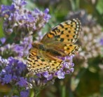 IMG_9285 Dark green Fritillary feeding on Sea Lavender - Copy