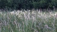 Meadowsweet 2 - Copy