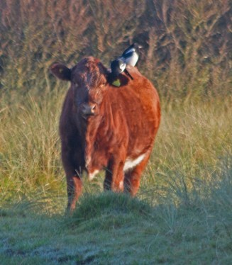 IMG_9678 Calf with Magpies on it's back 2nd Oct 2019 - Copy