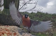 Male Bullfinch with fungus on both legs.2
