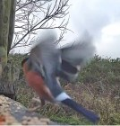 Male Bullfinch with fungus on both legs