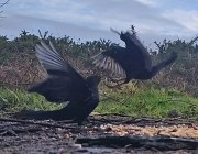 Squabbling Blackbirds 3rd Feb 2020 1
