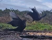 Squabbling Blackbirds 3rd Feb 2020 1