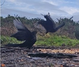 Squabbling Blackbirds 3rd Feb 2020 4