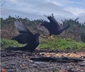 Squabbling Blackbirds 3rd Feb 2020 4