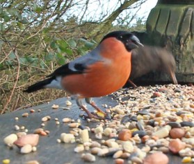 Male Bullfinch Geoff's seat 27th Feb 2020