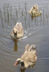 2020 Home 0607 - Greylag Geese family three