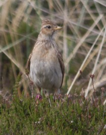 IMG_0815Skylark on heather 13th June 2020