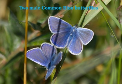 IMG_0935 Two male Common Blue butterflies named edited