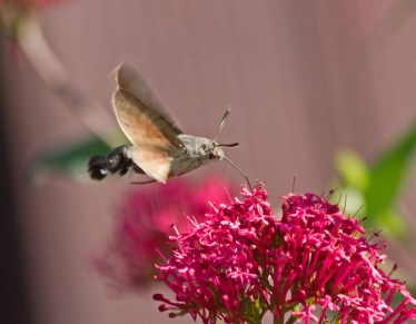 IMG_0951Humming bird hawk moth in garden 8th August 2020 edited
