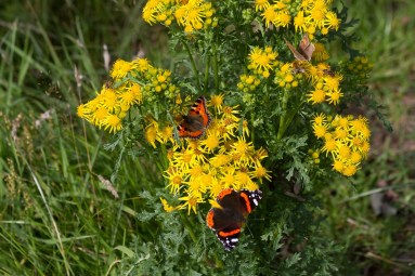 IMG_1112 Small Tortoiseshell Red Admiral and Gatekeeper on Ragwort 30th August 2020 - Copy