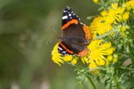 IMG_1118 Red Admiral on Ragwort 30th August 2020 - Copy