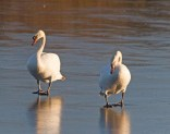 IMG_1273 Pair of Swans on first square pond 6th January 2021 - Copy
