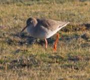 IMG_1325 Feeding Redshank on horse field 12th January 2021