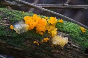 IMG_1330 Yellow Brain fungus 15th January 2021 - Copy