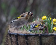 IMG_1412 A pair of Goldfinch collecting nesting material in garden 6th March 2021