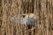 IMG_1477 Swan nesting on Fishing pond 3rd April 2021 - Copy