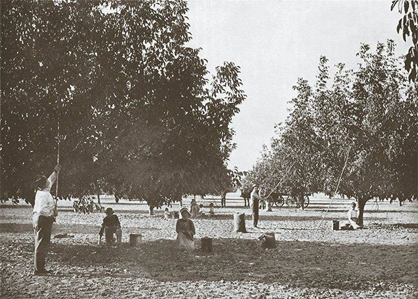 walnut harvesting