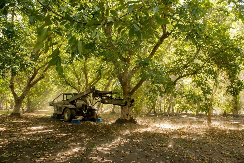 California walnut harvesting