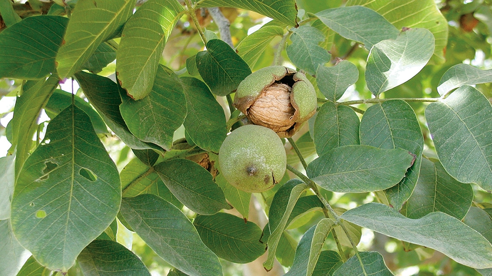 harvest walnuts