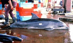 Toter Delfin auf einem Fischmarkt in Peru. Foto: ACOREMA