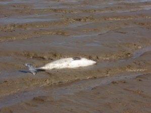 Dieser tote Schweinswal wurde Anfang Mai 2012 bei Kleinensiel angeschwemmt.