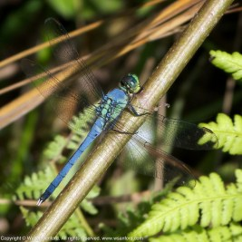 Eastern Pondhawk dragonfly (young male)