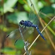Slaty Skimmer dragonfly (male)