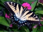 Eastern Tiger Swallowtail butterfly (female)