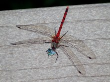 Blue-faced Meadowhawk dragonfly (male)