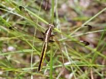Photo 5. Female: two cerci.