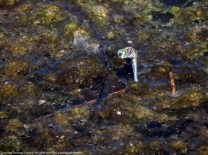 Blue Dasher dragonfly (female, oviposition, in flight)