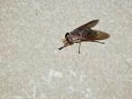 15 September 2014. Photo 3. Horse fly (female).