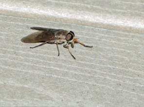 15 September 2014. Photo 1. Horse fly (female).