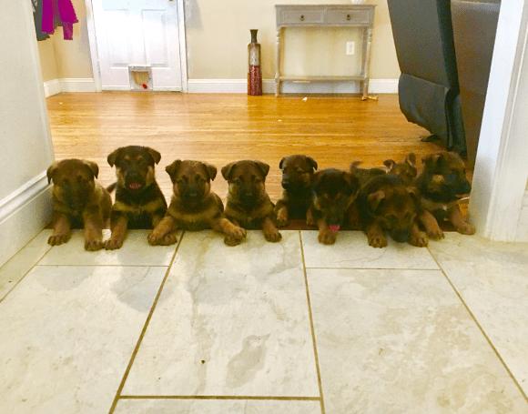 bela puppies litter 2