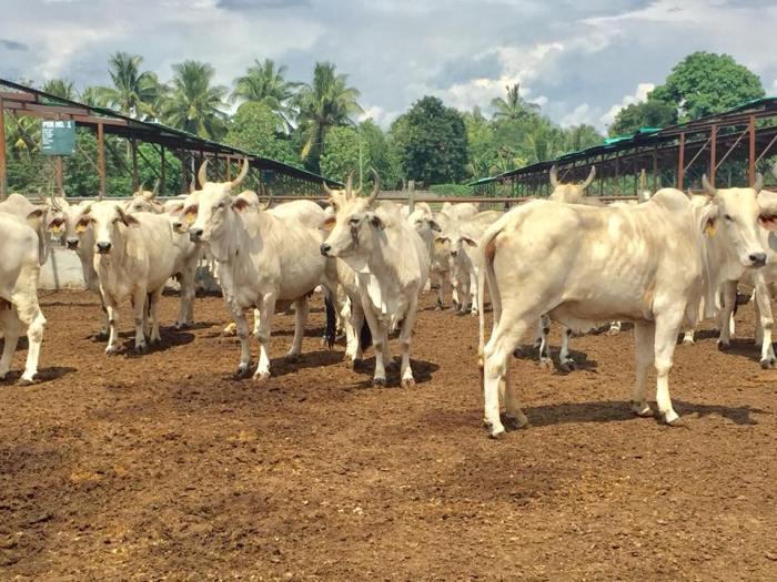 dealco-photo-cows