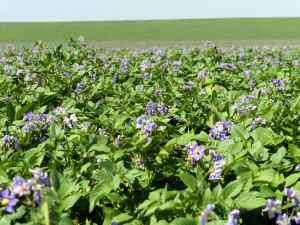 Walther Farms Purple Bloom Field