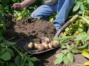 Walther Farms Test Dig with Potatoes on Shovel