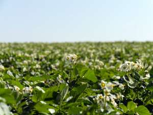 Walther Farms White Blooming Potato Plant