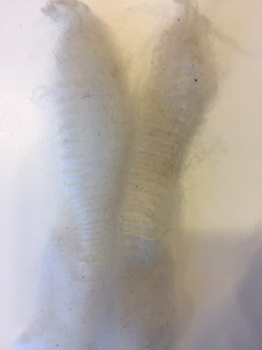 Two staples of white crimpy wool