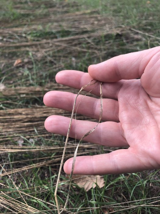 A hand holding a flax straw. Flax in the background.
