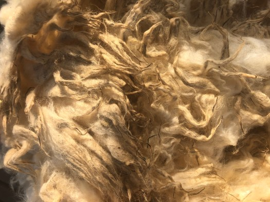 Raw fleece with greasy and almost solidified tips.