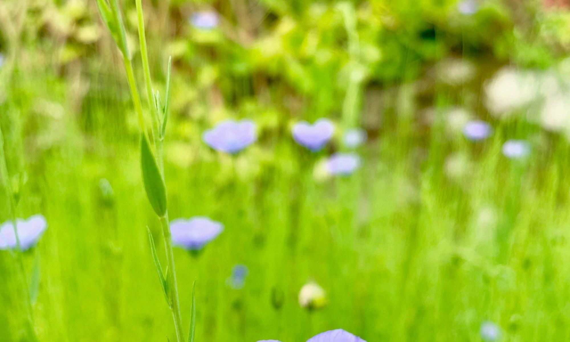 A small flax field in bloom