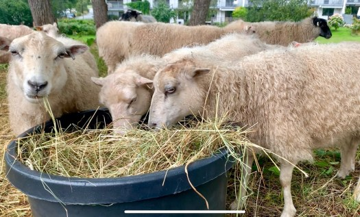 White sheep eating straw