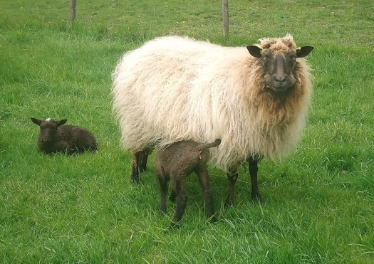 A light fawn sheep with long and fluffy wool. One lamb lying in the grass, one nursing.